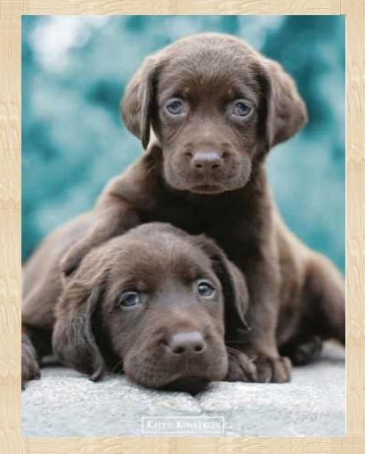 keith kimberlin schokoladen labrador welpen hunde. Black Bedroom Furniture Sets. Home Design Ideas
