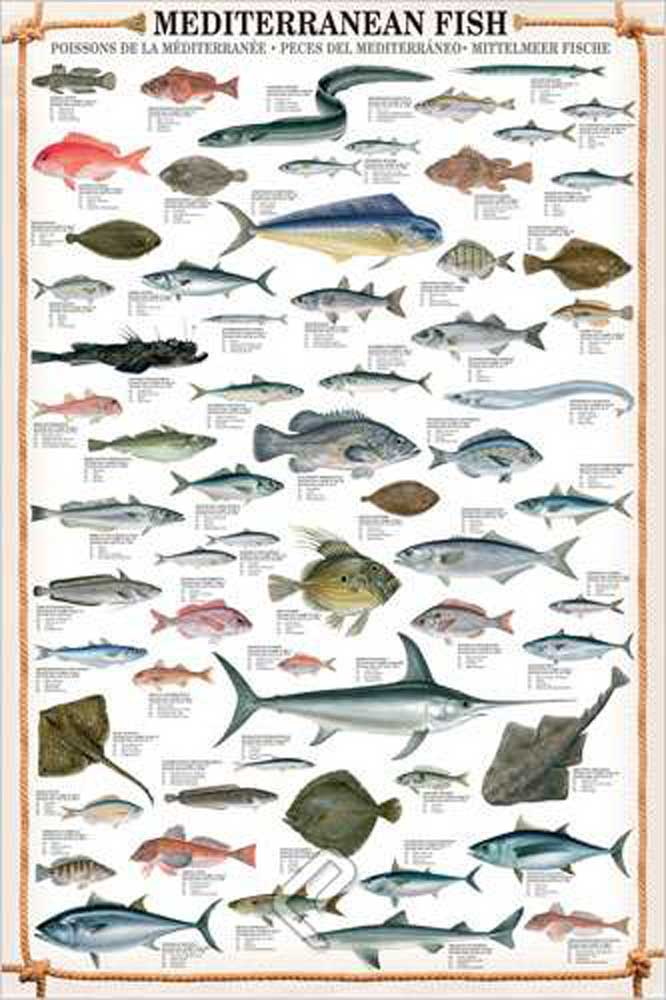 educational mediterranean fish mittelmeer fische bildung. Black Bedroom Furniture Sets. Home Design Ideas
