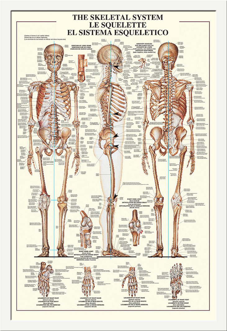 Atemberaubend Skelett System Des Menschlichen Körpers Anatomie ...